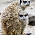 Meerkats by Jerry Weinstein