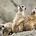 Meerkats by Michael Shake