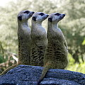 Meerkats On The Lookout by Maureen Beaudet