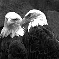 Meeting Of The Bald Eagles Black And White by Adam Jewell