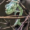 Mellers Chameleon Portrait 3 by William Bitman