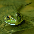 Mellow Frog by Sven Brogren