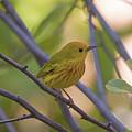 Mellow Yellow - American Warbler - Setophaga Petechia by Spencer Bush