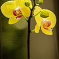 Mellow Yellow Orchids by Sabrina L Ryan
