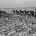 Men And Mules Cultivating Cotton by Everett