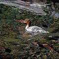 Merganser And Spawning Salmon - Odell Lake Oregon by Randall Ingalls