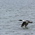 Merganser Duck by Andrea Lawrence
