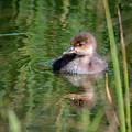 Merganser Duckling by Amy Porter