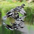 Mergansers In Flight by William Bosley