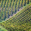 Merging Vineyards by Scott Kemper