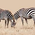 Merging Zebra Stripes by Sharon Foelz