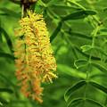 Mesquite Bloom by Scott Cordell