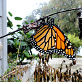 Metamorphosis Of The Monarch by Christopher Spicer