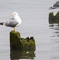 Mew Gull On A Piling by Robert Potts