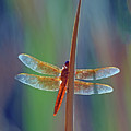 Flame Skimmer 0126-050918-1cr by Tam Ryan