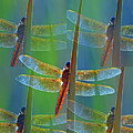 Mexican Amberwing 0126-050918-2cr-photo Art by Tam Ryan