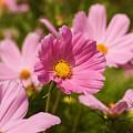 Mexican Aster Flowers 2 by Marcin Rogozinski