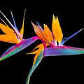 Mexican Bird Of Paradise by Nicholas Romano