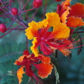 Mexican Bird Of Paradise  by Teresa Stallings