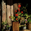 Mexican Geraniums by Jerry McElroy