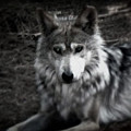 Mexican Gray Wolf by Emily Kelley