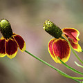 Mexican Hat by David Werner
