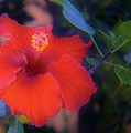 Mexican Hibiscus by Marilyn Alexander