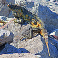 Mexican Iguana by Randall Weidner