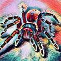 Mexican Red Knee Tarantula by Robert Kinser