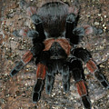 Mexican Redleg Tarantula by Judy Whitton