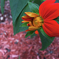 Mexican Sunflower In Mid Bloom by Aimee L Maher ALM GALLERY