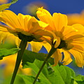 Mexican Sunflower Tree by Melanie Moraga