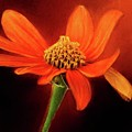 Mexican Sunflower by Warrena J Barnerd