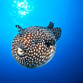 Mexico Guineafowl Puffer by Dave Fleetham - Printscapes