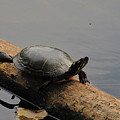 Michigan Painted Turtle by Scott Hovind