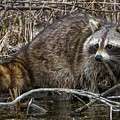 Michigan Raccoon by Susan Grube