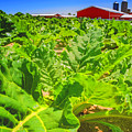Michigan Surgar Beet Farming by LeeAnn McLaneGoetz McLaneGoetzStudioLLCcom