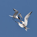 Mid Air Tern Battle by Carl Jackson