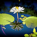 Mid Day Water Lily Reflection by Don Columbus