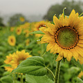 Mid September Sunflowers by Miguel Winterpacht