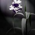 Midnight Bloom by Gwen Vann-Horn