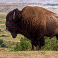 Mighty Bison by Bill Lindsay
