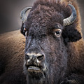 Mighty Bison by Emma England