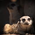 Mighty Masked Meerkat by Paul W Sharpe Aka Wizard of Wonders