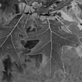 Mighty Oak by John Bichler