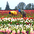 Migrant Workers In The Tulip Fields by Margaret Hood