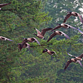 Migrating Geese 2 by Sharon Talson