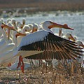 Migrating Pelicans  by Shari Morehead