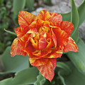 Mike's Hybrid Tulip by Michael Peychich