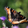 Milbert's Tortoiseshell Butterfly by Robert Potts